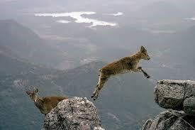A deer leaping off rocks